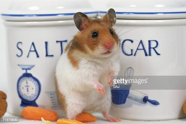 closed up image of a golden hamster standing in front of a salt and sugar bowl, front view - hamster imagens e fotografias de stock