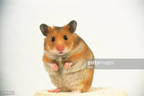 closed up image of a golden hamster standing on a flower pot, looking at camera, front view - golden hamster stock pictures, royalty-free photos & images