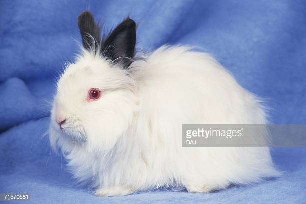Closed Up Image of an Angora Rabbit, Looking at Camera, Standing on a Blue Blanket, Side View