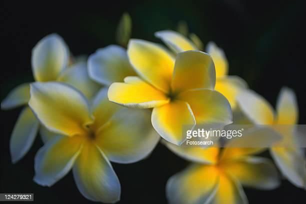 Closed Up Image of Plumeria Flowers, Differential Focus