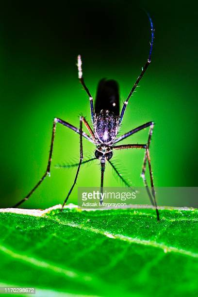 closed up male mosquito on green leaf. - mosquito stock pictures, royalty-free photos & images
