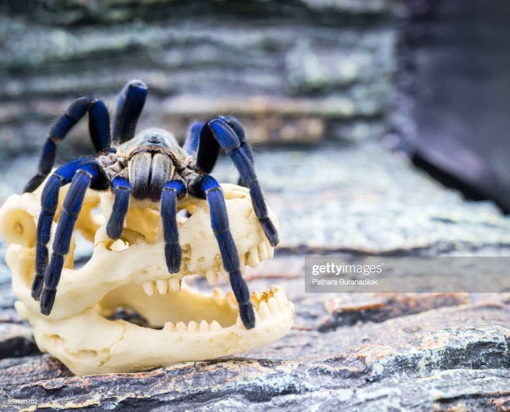 Closed up of adult Tarantula : Stock-Foto