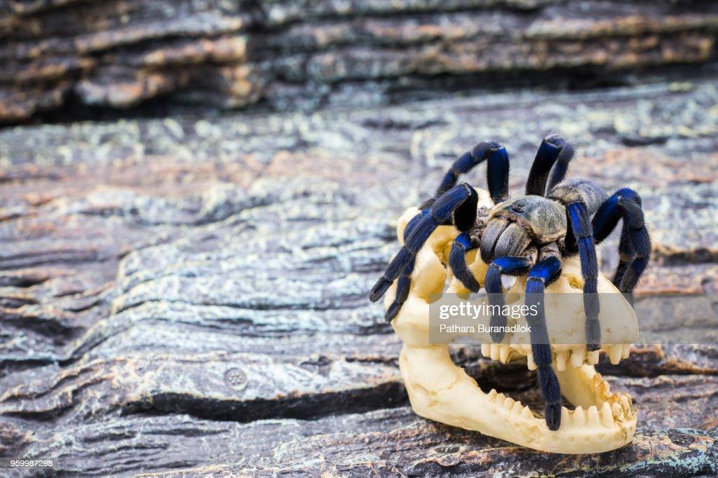 Closed up of adult Tarantula : Stock-Foto