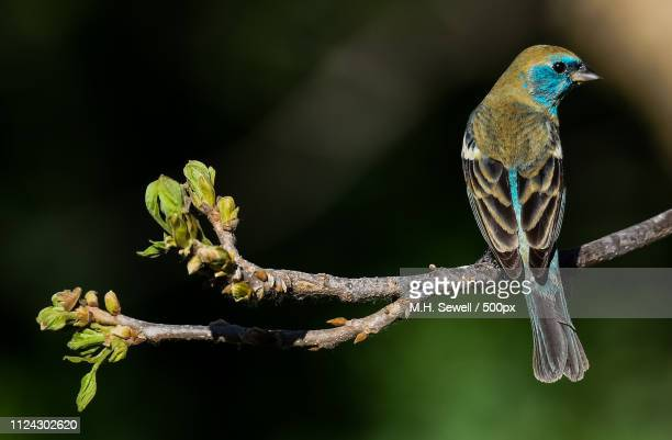 a closer look--lazuli bunting on branch - mike sewell stock pictures, royalty-free photos & images