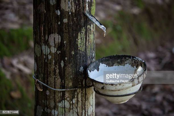 A closer view of an hevea tree in the province of Bokeo owned by Chinese entrepreneurs Rubber plantations in Laos are expanding rapidly due to the...