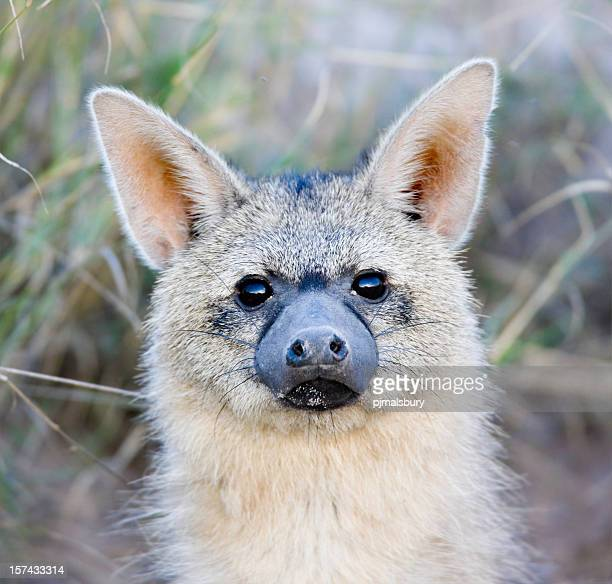 Close-up Aardwolf