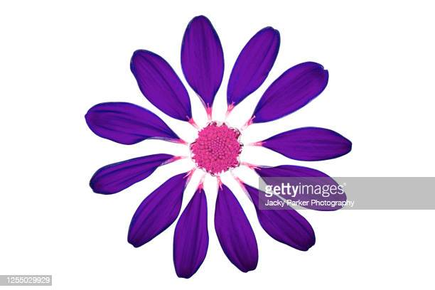 close-up, abstract image of a deconstructed purple flower against a white background - petal stock pictures, royalty-free photos & images
