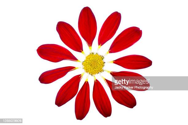 close-up, abstract image of a deconstructed red flower against a white background - petal stock pictures, royalty-free photos & images