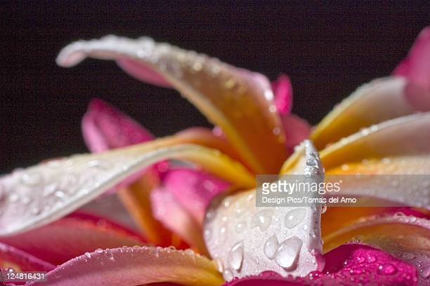 Closeup abstract view of pink and yellow plumeria petals, wet with dew.