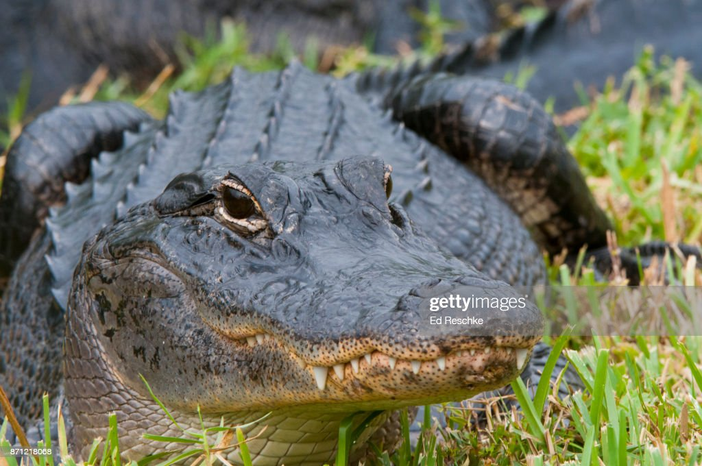 Close-up Alligator (Alligator mississippiensis) in Everglades National Park, Anhinga Trail : Stock Photo