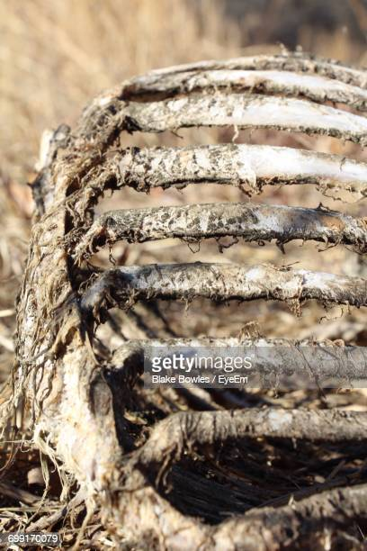 close-up animal bones - animal rib cage stock photos and pictures