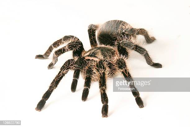 close-up, animals, close, black, araneae, alfred - ugly spiders stock photos and pictures