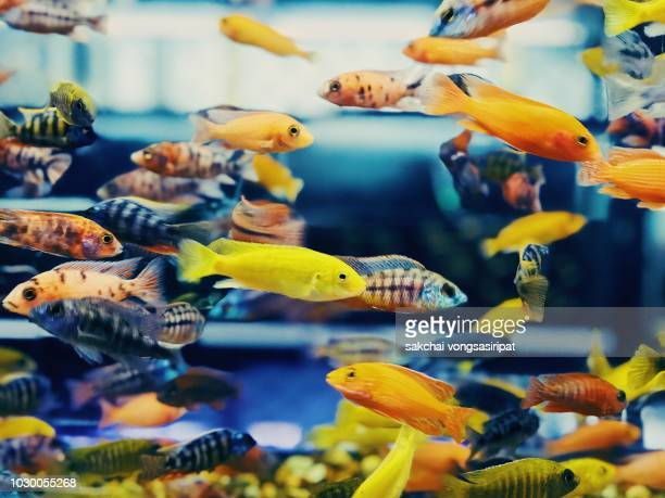 close-up at colorful tropical fish in tank aquarium, thailand - freshwater stock pictures, royalty-free photos & images