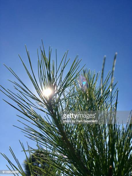 close-up, back-lit white pine tree branch - griffith park stock pictures, royalty-free photos & images
