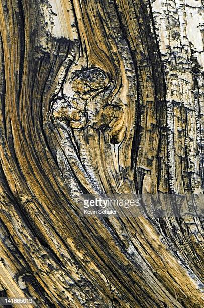 Close-up bark detail of Bristlecone Pine, Pinus longaeva. Methuselah grove, White Mountains, California.