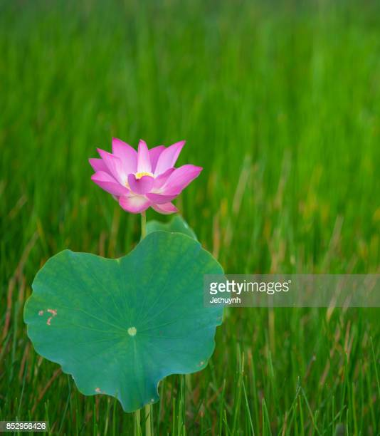 Closeup blooming beautiful pink lotus flower