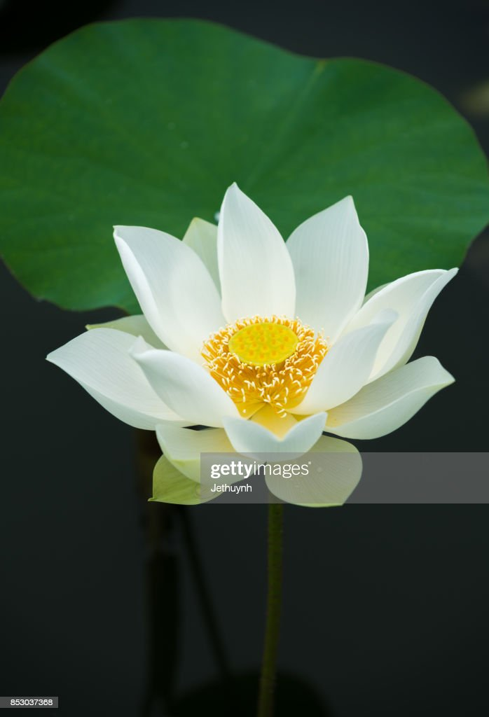 Lotus flower tattoo stock photos and pictures getty images closeup blooming beautiful white lotus flower mightylinksfo