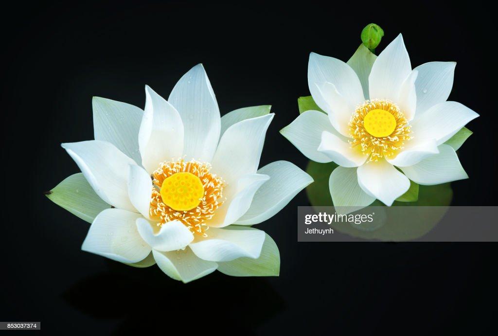 Closeup blooming beautiful white lotus flower : Stock Photo