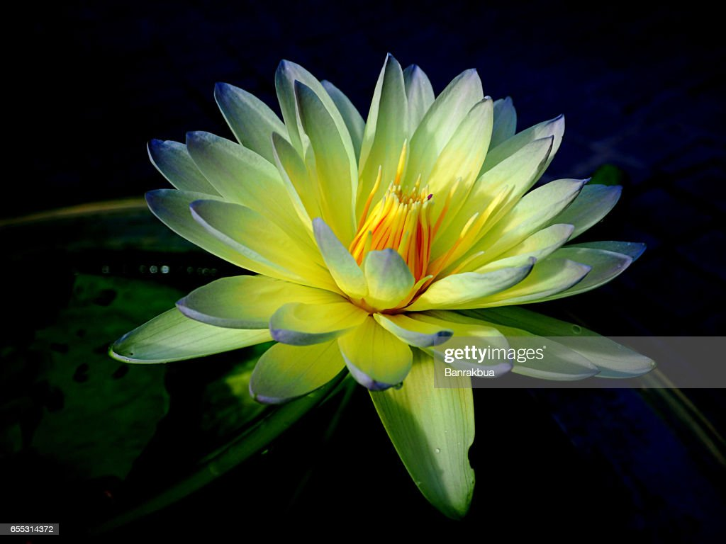 Closeup blooming blue waterlily or lotus flower on blur background closeup blooming blue waterlily or lotus flower on blur background stock photo izmirmasajfo