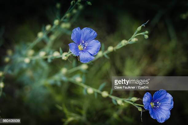 close-up blue flowers blooming outdoors - dave faulkner eye em stock pictures, royalty-free photos & images
