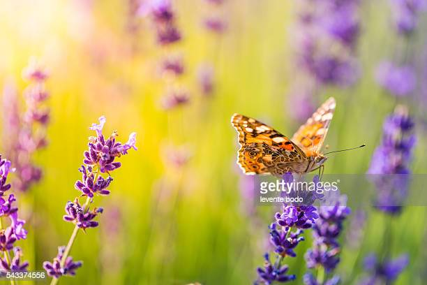 Closeup butterfly on a beautiful lavender flower. Summer travel concept.