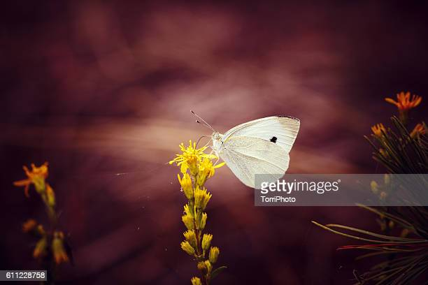 Closeup cabbage white butterfly on flower against dark purple background in nature. Shallow focus