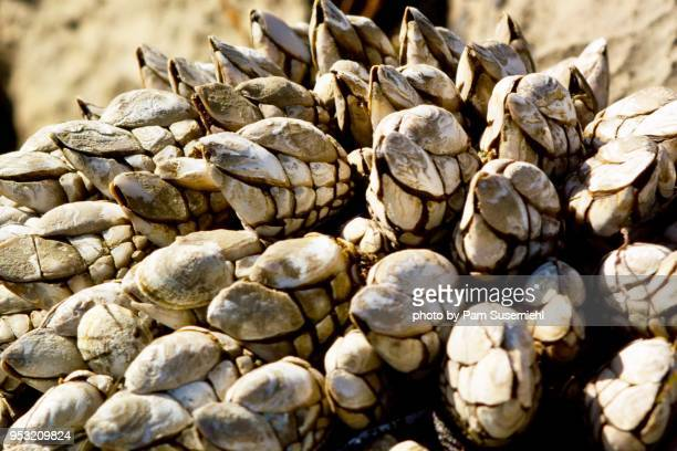 close-up, california mussel crusted rock - rancho palos verdes stock pictures, royalty-free photos & images