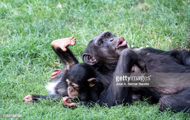 close-up chimpanzee family playing. - chimpanzee teeth stock pictures, royalty-free photos & images