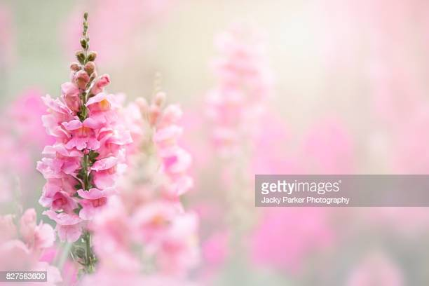 close-up, creative image of a beautiful pink, summer flowering snap dragon flower head also known as antirrhinum. - focus on foreground stock pictures, royalty-free photos & images
