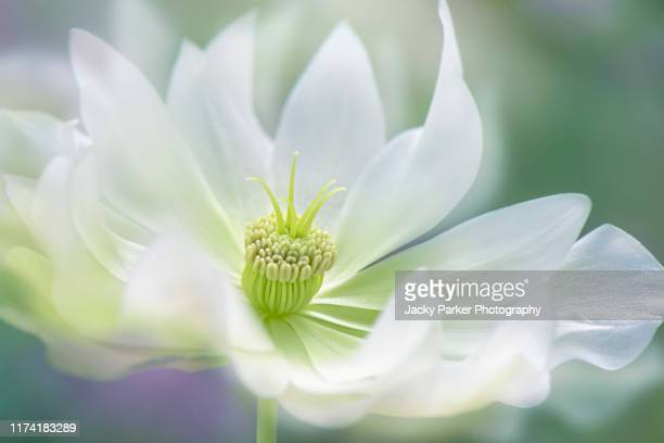 close-up, creative image of a beautiful white hellebore flower also known as the lenten or christmas rose - ヘレボルス ストックフォトと画像