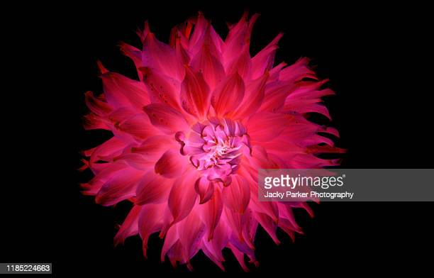 "close-up creative image of a deep pink ""waterlily' dahlia summer flower against a black background - image stock pictures, royalty-free photos & images"