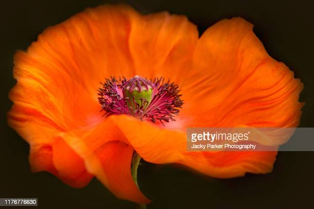 close-up creative image of a single red poppy- papaver flower taken against a black background - memorial day background stock pictures, royalty-free photos & images