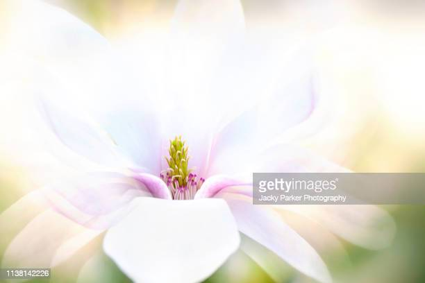 Close-up, creative image of a single, white, spring flowering Magnolia flower taken against a soft background