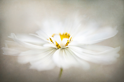 Close-up, creative image of a single white, summer flowering Cosmos flower - gettyimageskorea