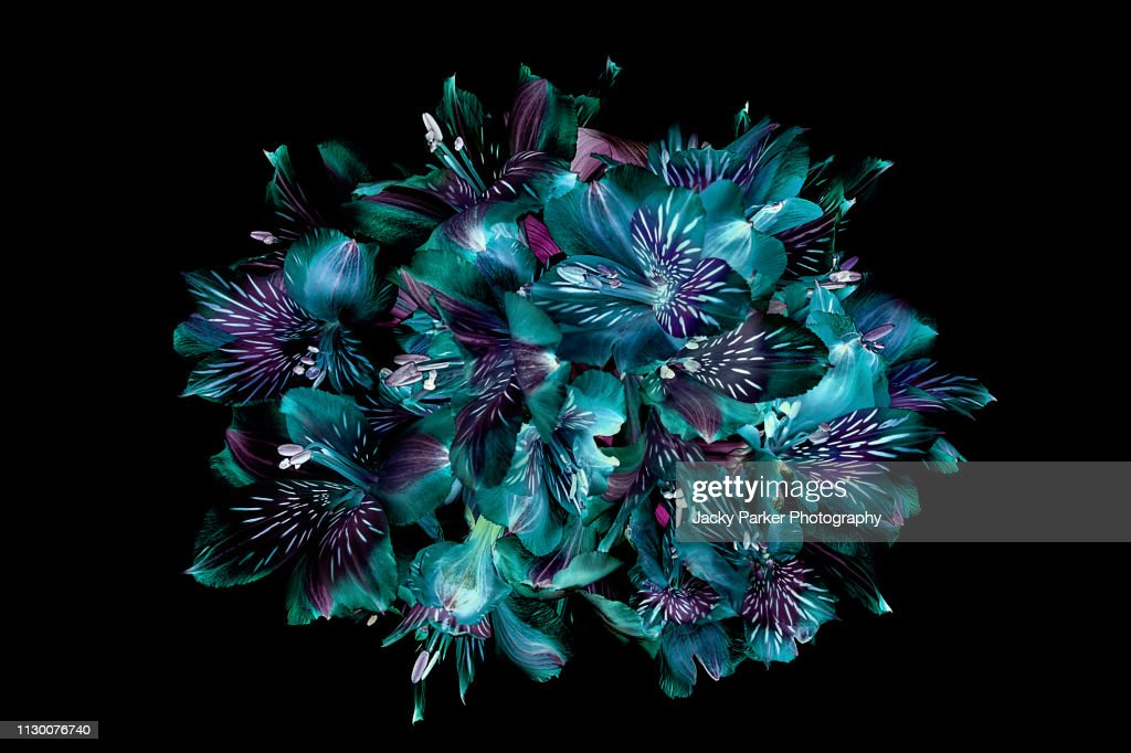 Close-up, creative image of Peruvian lillies also known as Alstromeria against a black background : Stock Photo