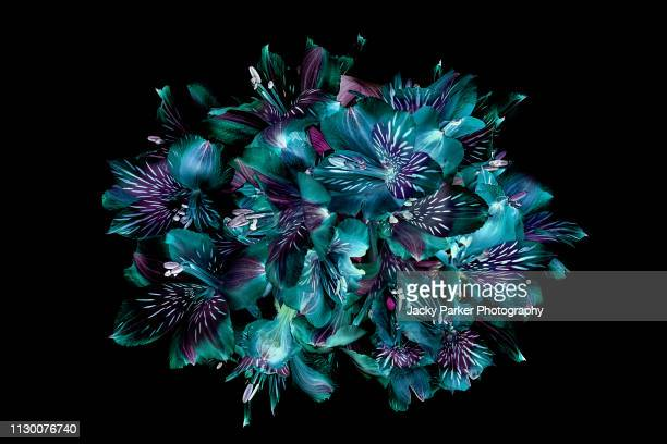 close-up, creative image of peruvian lillies also known as alstromeria against a black background - levendige kleur stockfoto's en -beelden