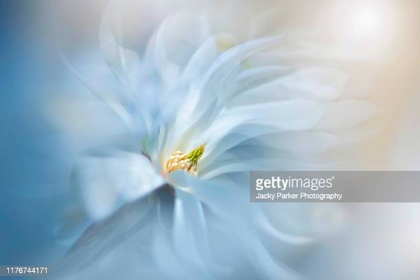 close-up, creative image of the beautiful spring flowering, white magnolia stellata flower with floating petals - image focus technique stock pictures, royalty-free photos & images