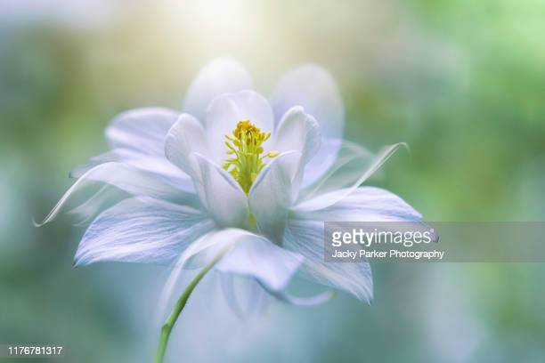 close-up creative image of the beautiful spring flowering white aquilegia vulgaris flower also known as granny's bonnet or columbine flower - columbine flower stock pictures, royalty-free photos & images