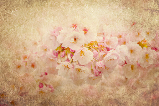 Close-up, creative image of the beautiful spring Ornamental Cherry blossom flowers with vintage tones - gettyimageskorea