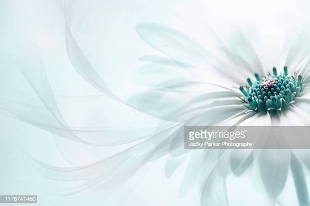 close-up, creative image of the beautiful summer flowering osteospermum barberiae white flower also known as the cape daisy with floating petals - purity stock pictures, royalty-free photos & images