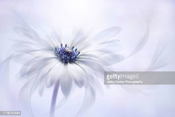 close-up, creative image of the beautiful summer flowering osteospermum barberiae flower also known as the cape daisy with floating petals - purity stock pictures, royalty-free photos & images