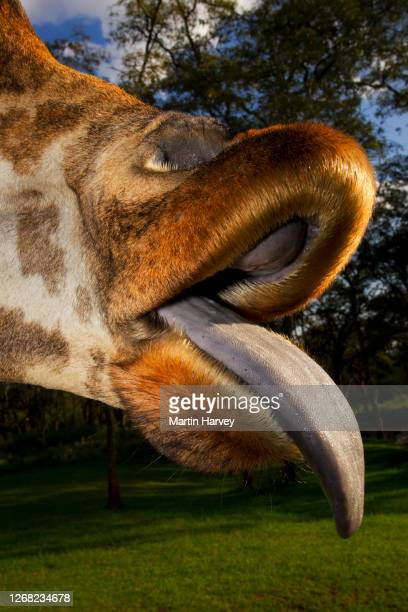 close-up cropped funny portrait of adult rothschild giraffe (giraffa camelopardalis rothschildi) sticking out its tongue - 動物の舌 ストックフォトと画像