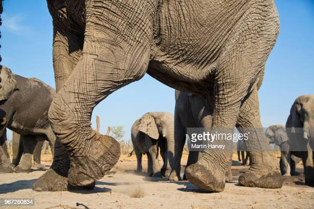 close-up cropped view of elephant legs and feet with other elephants in the background, botswana - big foot stock photos and pictures
