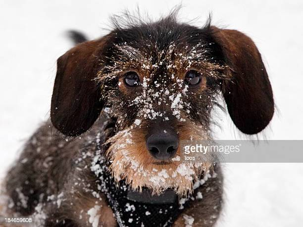 Close-up - Dachshund Puppy playing in the snow