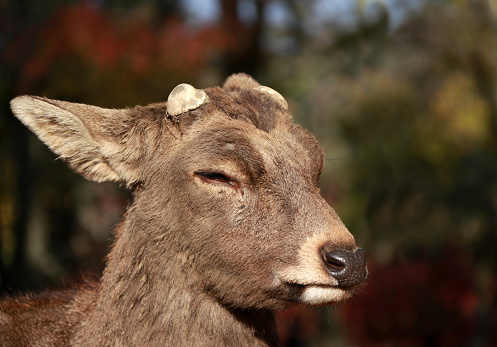 Closeup Deer with cut off antler on the sunlight at the park in Nara, Japan. 886110584