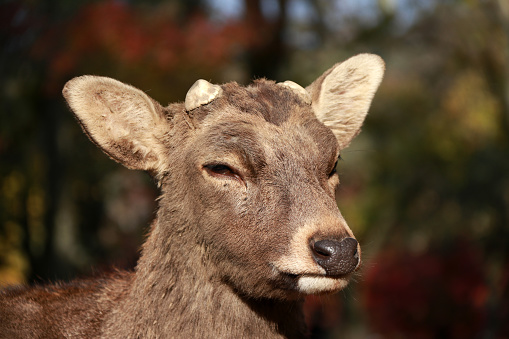 Closeup Deer with cut off antler on the sunlight at the park in Nara, Japan. 886115218