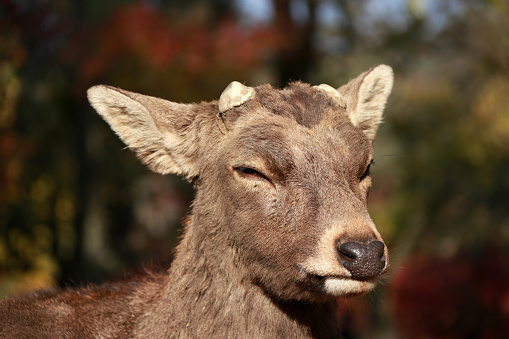 Closeup Deer with cut off antler on the sunlight at the park in Nara, Japan. 886115364