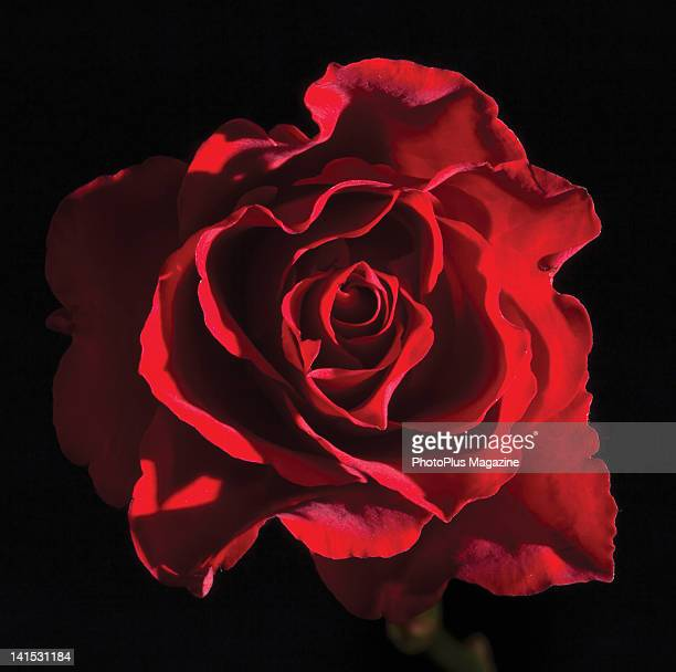 Single Rose Stock Photos And Pictures