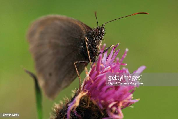 Closeup detail of a Ringlet butterfly feeding on a thistle flowerhead on August 15 2012