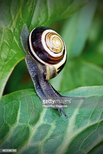 Closeup detail of a whitelipped snail feeding on a green leaf taken on April 15 2013